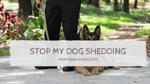 Shedding Blade German Shepherd by Stop Dog Shedding 50 Tips To Stop Or Minimize Excessive Shedding