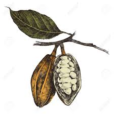 Coffee Plant Clipart Cocoa Bean 1