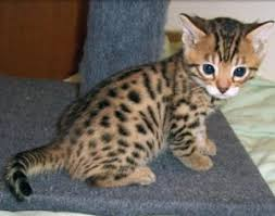 tea cup cat cats alabama free classified ads