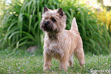cairn terrier shed hair cairn terrier