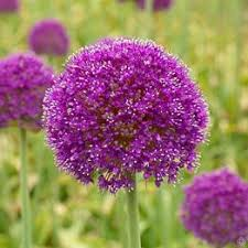 buy your allium flower bulbs now