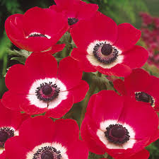 anemone hollandia j bulbs