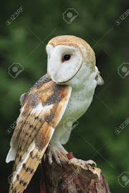 The Barn Owl (Tyto Alba) Stock Photo, Picture And Royalty Free ... Barn Owl Looking Over Shoulder Perched On Old Fence Post Stock Eccles Dinosaur Park Carnivore Carnival The Salt Project Barn Moving Head Side To Slow Motion Video Footage 323 Best Owls Images Pinterest Owls Children And Free Images Wing White Night Animal Wildlife Beak Predator 189 Beautiful Birds Sat A Falconers Glove Photo Royalty Image Paris Owl 150 Pictures Snowy More