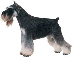 Do Giant Schnauzers Shed by Giant Schnauzer Breed Information Facts Pictures Temperament