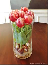 how to tulip bulbs in water sand and sisal