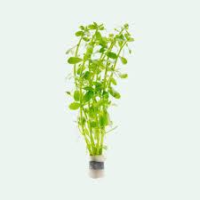 bacopa monnieri live aquatic plant glass aqua