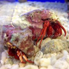 Do Hermit Crabs Shed Their Legs by Red Leg Hermit Scarlet Leg Hermit Crab Paguristes Cadenati