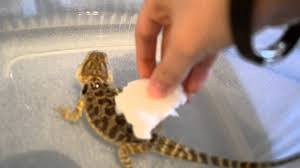 how to help your bearded dragon shed youtube