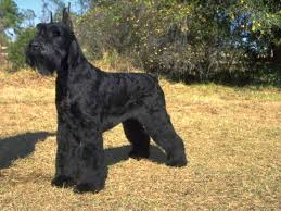 7 facts about owning a giant schnauzer american kennel club