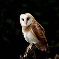 Norfolk Images Gallery: Barn Owl ( Tyto Alba ) Barn Owl United Kingdom Eurasian Eagleowl Wallpaper Studio 10 Tens Of Barn Owl Wallpapers And Backgrounds Pictures 72 Images By Faezza On Deviantart Bird Falconry One Animal Closeup Free Image Snowy Hd 78 Sits Pole Wooden Dove Birds Images Hd 169 High Wallpaper 1680x1050 11554 Free Backgrounds At Wildlife Monodomo 2 One Online 4k Desktop For Ultra Tv Wide
