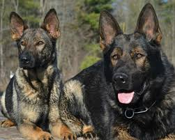 Shedding Blade German Shepherd by The German Shepherd Dog Simple Facts