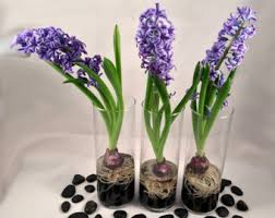 hyacinth bulb forcing kit set of 3 prechilled hyacinth