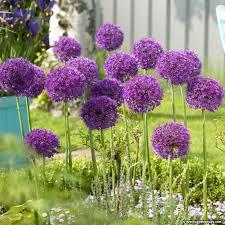 purple allium bulbs purple sensation allium aflatunense