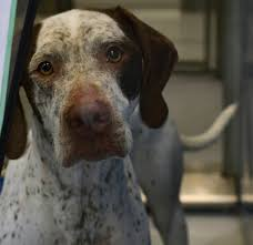 German Shorthaired Pointer Shedding by Adam Cole The Topeka Capital Journal