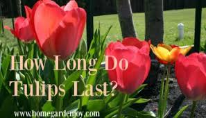 why don t tulips come back like daffodils home garden