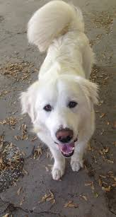 110 best great pyrenees images on pinterest great pyrenees dog