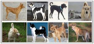 Low Shedding Dogs In India by 10 Reasons Why Pariah Dog Is The Best Option For Elders Or Senior