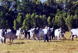 Stockman (Australia) - Wikipedia Trekking Downunder Australian Outback Travel Travelling With Kids North Dakota Stockmens Association All Breeds Cattle Tour Stroup Sworn In As Ridgway Chief Marshal Running On Eddie April 2015 The Adventures Of Blogger Mike Valleyfair Little Big League Two Semitruck Pickup Accidents In Days Elko Nevada Officials Report 9 Vehicles Torched 2 Officers Injured In Pipeline A Theme For Day Dreams July 50 Oldest Restaurants America Ding Places Each Harlowton Stockmans Bar Into The Belts