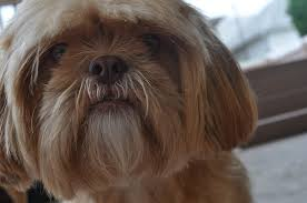 Shih Tzu Lhasa Apso Shedding by Top 10 Dogs That Shed The Least Surprise Feed