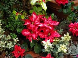Christmas Tree Seedlings by Popular Christmas Plants And Flowers