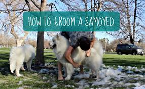 Do Samoyed Dogs Shed Hair by How I Groom My Samoyeds How To Dog Grooming Youtube