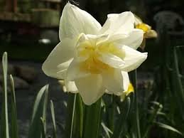 protect your early blooming daffodils from a late freeze garden