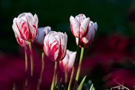 planting tulip bulbs in winter the farmer s almanac