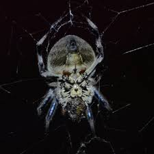 Garden Orb Weaver Spiders At Spiderzrule - The Best Site In The ... Spiders At Spiderzrule The Best Site In World About Spiders Barn Funnel Weaver Spider North American Insects Bug Eric Thinlegged Wolf Genus Pardosa Grass How To Tell If A Spider Is Not Brown Recluse Spiderbytes