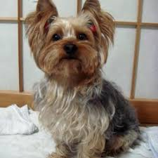 Top 10 Dogs That Dont Shed by What Breed Of Dogs Do Not Shed Breed Dogs Picture