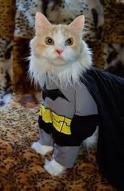 cat batman costume 93 best cats images on animals