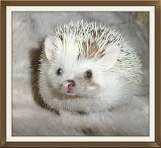 What Heat Lamp To Use For Hedgehogs by Care Guide Advice Information Exotic Pet African Pygmy Hedgehogs Help