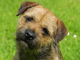 border terrier information characteristics facts names
