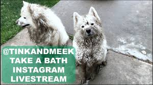 Do Samoyeds Shed All The Time by Tinkerbelle And Meeko Samoyed Muddy Bath Time Live Stream Youtube