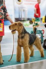 Airedale Terrier Non Shedding by Zarina L Ozzie Rt Airedales Pinterest Airedale Terrier