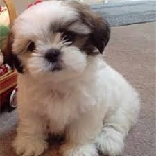 No Shed Small Dogs by Breeds Of Dogs That Stay Small And Don T Shed Breed Dogs Picture