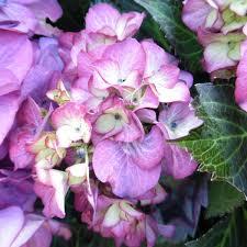 Use Fragrant Plants For A Breathtaking Garden My Chicago Botanic