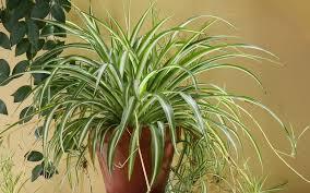 luftreinigende pflanzen top 10 für weniger schadstoffe
