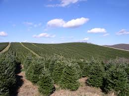 Fraser Christmas Tree Farm by The Douglas Fir U0027s Dominance And The Pointlessness Of Wild