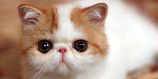 shorthair cat price shorthair information characteristics facts names