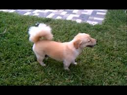 Best Non Shedding Small Dogs by Small Dog Looks Like Miniature Lab L Rare Dog Breed L Best Looking