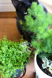 Are Christmas Tree Needles Toxic To Dogs by Ask The Expert Will A