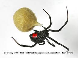 Black Widow Spiders: Facts & Extermination Information Barn Spider Photography Nature Pinterest Update Spiders Still Dont Bite Arthropod Ecology Beneficial In The Landscape 49 Bana Nephila Tegenaria Domestica Wikipedia Grass Spiders At Spiderzrule Best Site World About Spiderlings Eat Mother Youtube Myths Burke Museum What Are Some Common Montana Animals Momme 7 Bug And Squashed National Geographic Society Blogs Neighbourhood Agriculture Food Molting