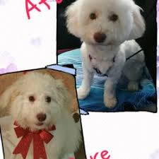 Do Jackie Bichon Shed by Qq Pups Doghouse 34 Photos U0026 18 Reviews Pet Groomers 4645