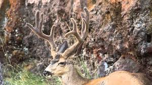 Whitetail Deer Shedding Velvet by Mule Deer Buck Growing Non Typical Velvet Antlers Up Close Youtube