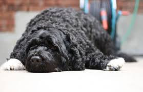 Portuguese Water Dog Shedding Problems by Portuguese Water Dog Dog Breeds Guide