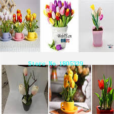 aliexpress buy ggg tulip bulbs free shipping 100 genuine