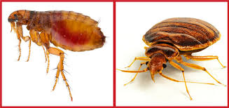 What Are the Differences Between Fleas & Bed Bugs