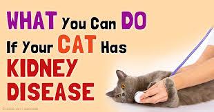 renal failure in cats sdma biomarker can detect chronic kidney disease earlier