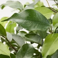 ficus benjamina pflanze birkenfeige versch arten 24 cm