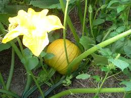 Pumpkin Picking Richmond by Gallmeyer Farms Home Facebook